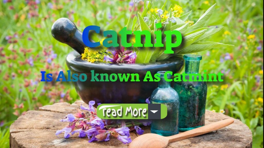 catnip is also known as catmint. read more