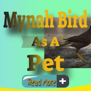 mynah bird as a pet thumbnail image